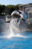 Volo dell'orca Fotografia Stock Libera da Diritti