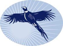 Volo dell'uccello del fagiano in su Fotografia Stock