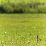 Volo dell'uccello del sorso di granaio sopra un prato Immagine Stock