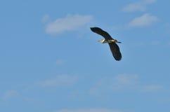 Volo dell'uccello dell'airone Immagini Stock