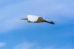 Volo dell'uccello dell'egretta Fotografia Stock Libera da Diritti