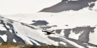 Volo dell'uccello di Brown con le montagne con neve nei precedenti Fotografia Stock