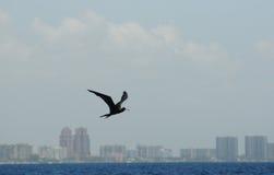 Volo dell'uccello di fregata sopra l'oceano vicino alla linea costiera Fotografia Stock