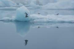 Volo dell'uccello fra gli iceberg a Jokulsarlon, Islanda Immagini Stock Libere da Diritti