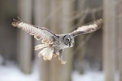Volo dell'uccello Grande Grey Owl, il nebulosa dello strige, volo nella foresta, ha offuscato gli alberi nel fondo Scena animale  fotografie stock libere da diritti