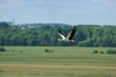 Volo della cicogna bianca Fotografia Stock Libera da Diritti
