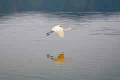 Volo della cicogna nel lago Sagar dell'uomo. Fotografie Stock