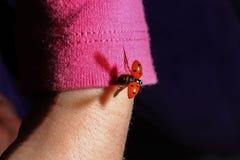 Volo della coccinella dal braccio del braccio di un bambino Fotografia Stock