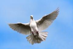 Volo della colomba Fotografie Stock