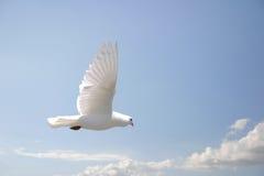 Volo della colomba di bianco Immagini Stock Libere da Diritti