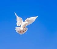 Volo della colomba di bianco Fotografia Stock Libera da Diritti