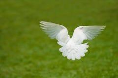 Volo della colomba di bianco Immagine Stock