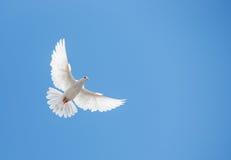 Volo della colomba di bianco Immagini Stock