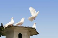 Volo della colomba di bianco via Fotografie Stock Libere da Diritti