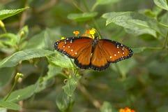 Volo della farfalla del Tan Fotografia Stock Libera da Diritti