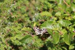 Volo della farfalla sulle foglie Immagini Stock Libere da Diritti