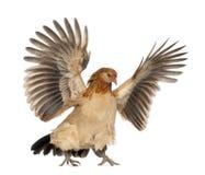 Volo della gallina contro il fondo bianco fotografia stock libera da diritti