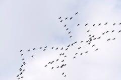 Volo della gru comune Fotografie Stock