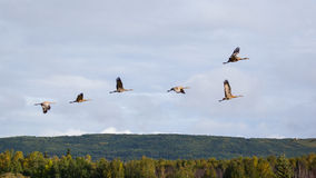 Volo della gru di Sandhill Fotografie Stock