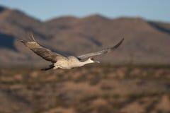 Volo della gru di Sandhill con il cielo blu e le montagne nel fondo Fotografie Stock