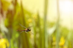 Volo della libellula in un giardino di zen Fotografia Stock