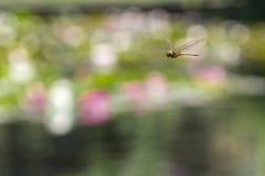 Volo della libellula in un giardino di zen Immagini Stock