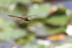 Volo della libellula in un giardino di zen Fotografia Stock Libera da Diritti