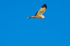 Volo della rapace in un cielo blu Fotografie Stock