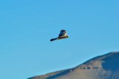 Volo della rapace in un cielo blu Fotografia Stock Libera da Diritti