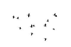 Volo della siluetta degli uccelli dello stormo su fondo bianco Fotografia Stock Libera da Diritti
