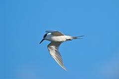 Volo della sterna dell'uccello Immagini Stock Libere da Diritti