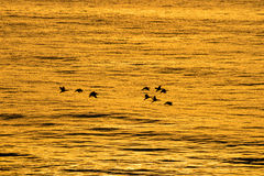 Volo di alba Fotografia Stock