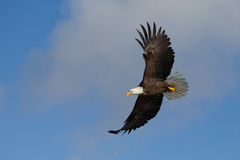 Volo di Eagle calvo, Homer Alaska Fotografia Stock