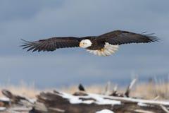 Volo di Eagle calvo, Homer Alaska Immagini Stock