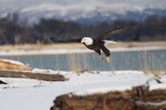 Volo di Eagle calvo, Homer Alaska fotografie stock