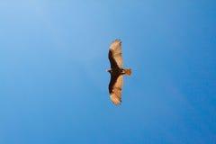 Volo di Eagle in cielo blu Fotografie Stock Libere da Diritti