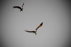 Volo di Eagles in cielo plumbeo Fotografia Stock Libera da Diritti