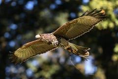 Volo di Harris Hawk immagini stock libere da diritti