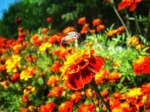 Volo di sphingidae della farfalla sopra il tagete rosso Fotografia Stock