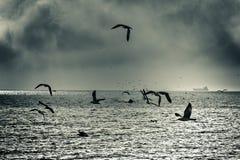 Volo drammatico del gabbiano di mare Fotografia Stock Libera da Diritti