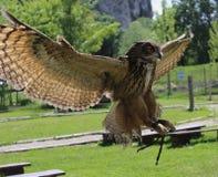Volo Eagle Owl Fotografie Stock Libere da Diritti