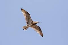 Volo euroasiatico di parte di sotto di arquata del Numenius del chiurlo, in volo Fotografia Stock Libera da Diritti