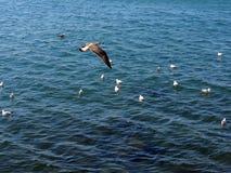 Volo gabbiano o di canus comune di larus Fotografia Stock Libera da Diritti
