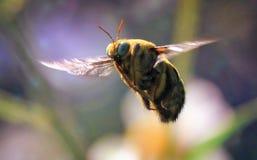 Volo giallo dell'ape immagini stock libere da diritti