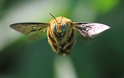 Volo giallo dell'ape fotografie stock