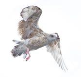 Volo giovanile del gabbiano di mare. fotografia stock