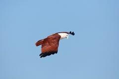 Volo indiano dell'aquila nel cielo Immagini Stock