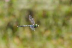 Volo maschio di imperator di Anax della libellula dell'imperatore, in volo Fotografia Stock