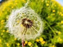 Volo morbido delicato aerato del dente di leone alla luce solare del vento di mattina Immagine artistica vaga romantica fotografie stock libere da diritti