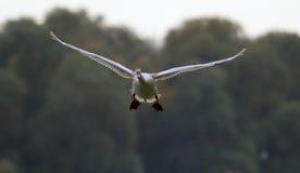 Volo muto del cigno Fotografia Stock